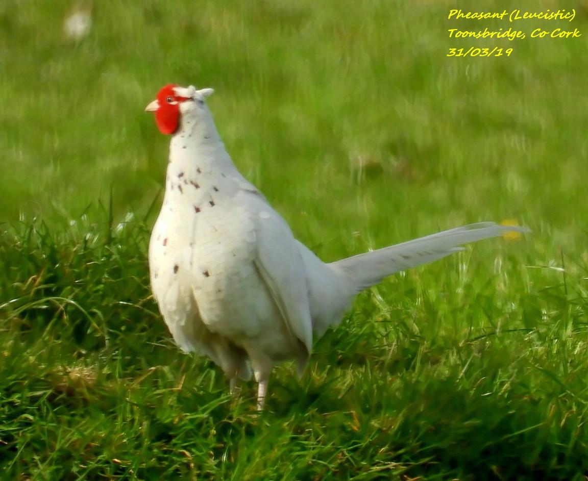 Pheasant (Leucistic) 2