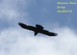 Carrion Crow 1
