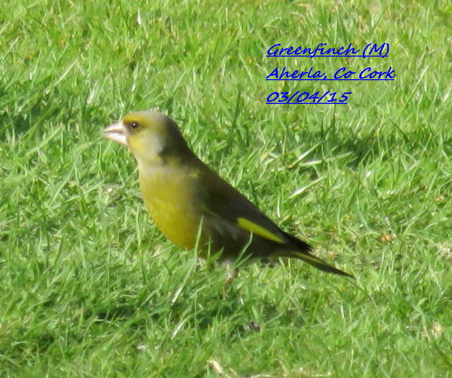 Greenfinch 5