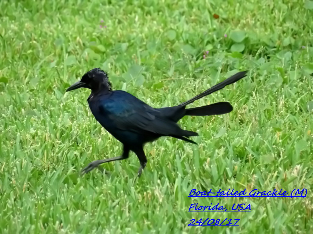 Boat-tailed Grackle 1
