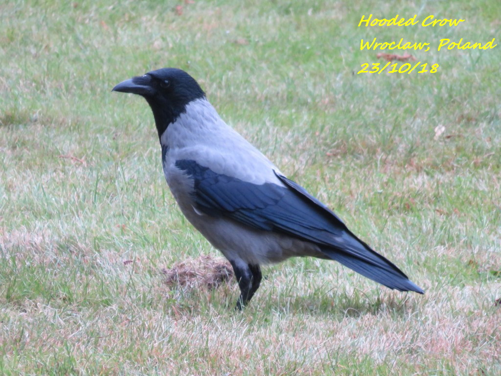 Hooded Crow 4