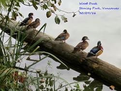 Wood Duck 4