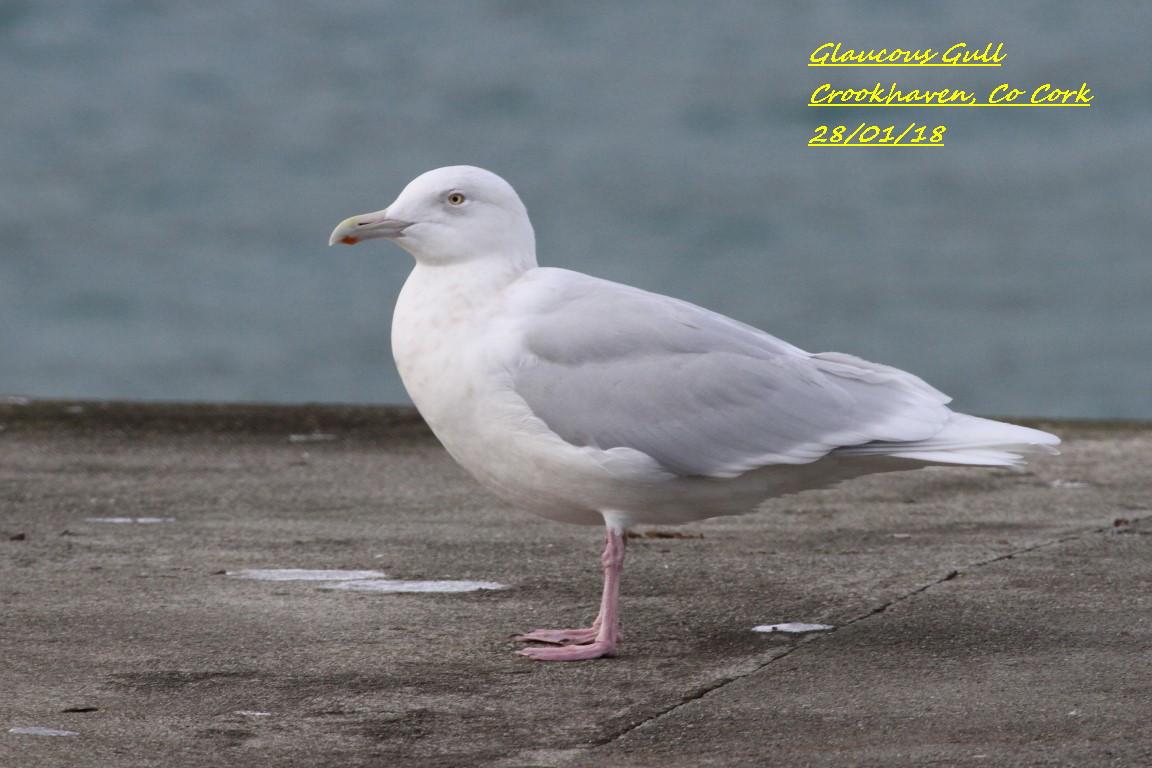 Glaucous Gull 1