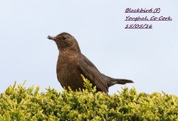 Blackbird 6