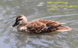 Spot-billed Duck 2