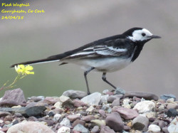 Pied Wagtail 5