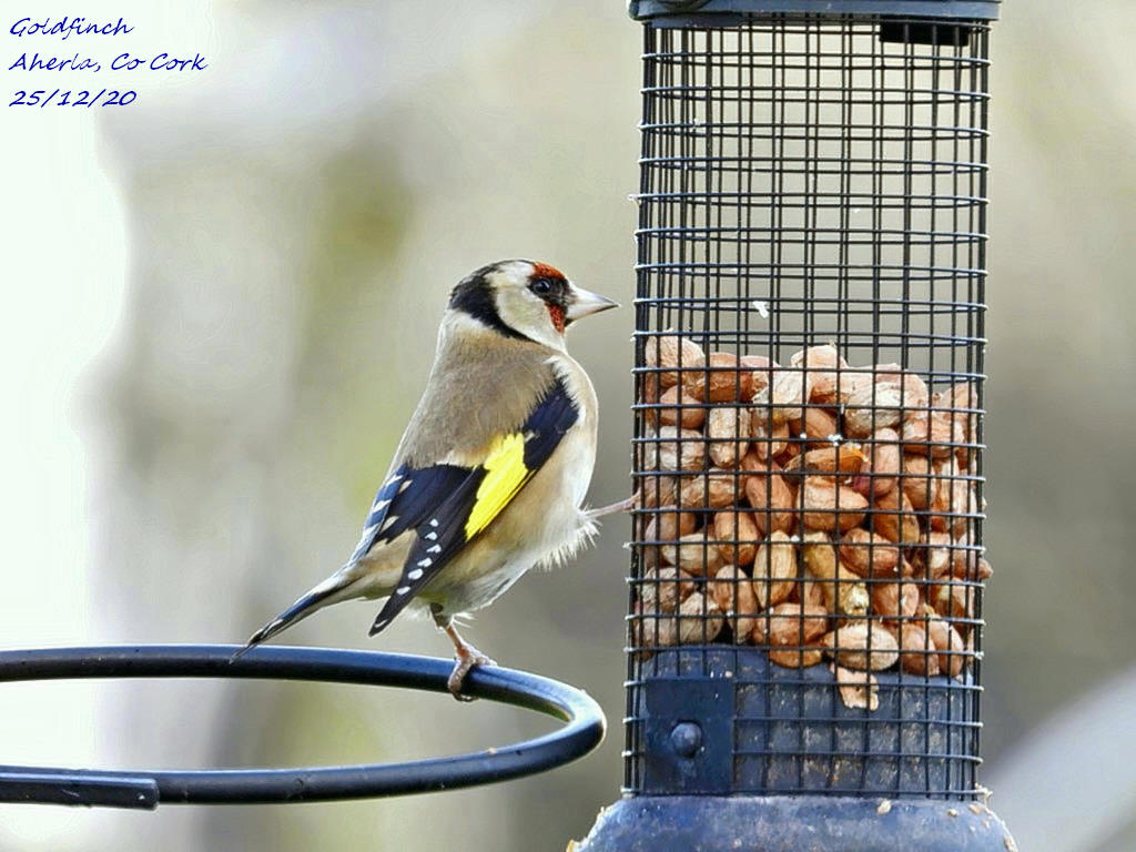 Goldfinch 6
