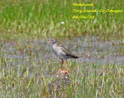 Redshank 5