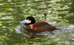 Ruddy Duck 1