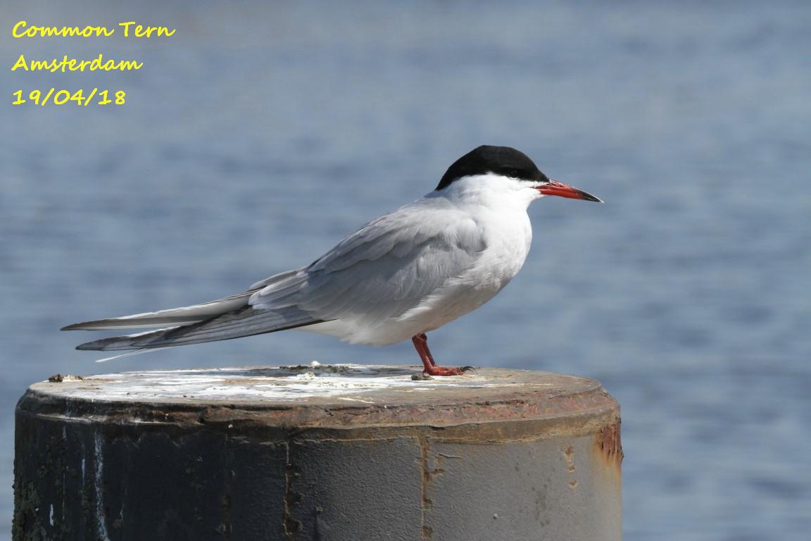 Common Tern 5