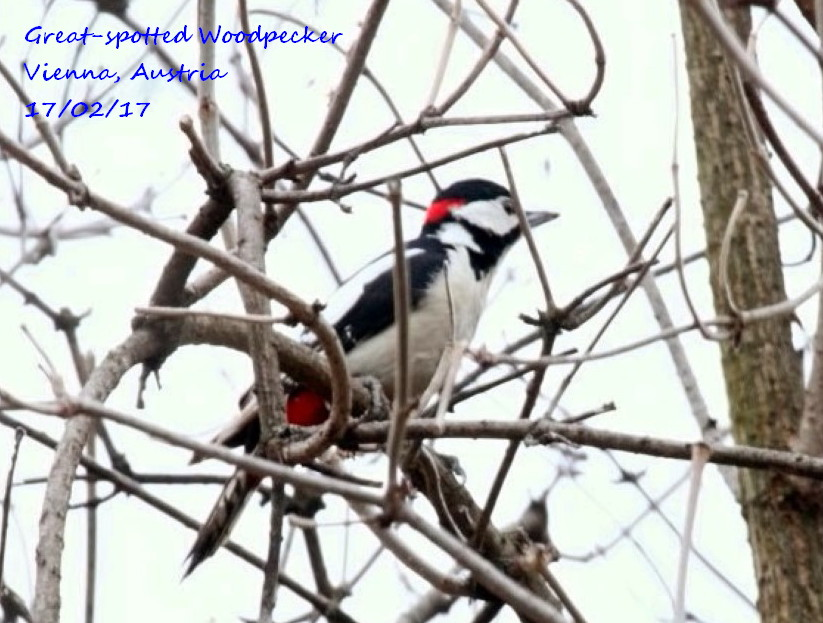 Great-spotted Woodpecker 1