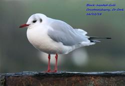 Black-headed Gull 6