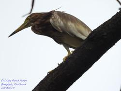 Chinese Pond Heron 2