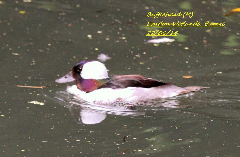 Bufflehead 6