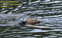 White-headed Duck 2