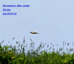 European Bee-eater 1