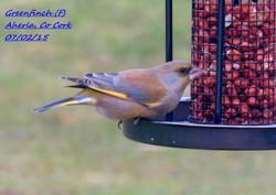 Greenfinch 4