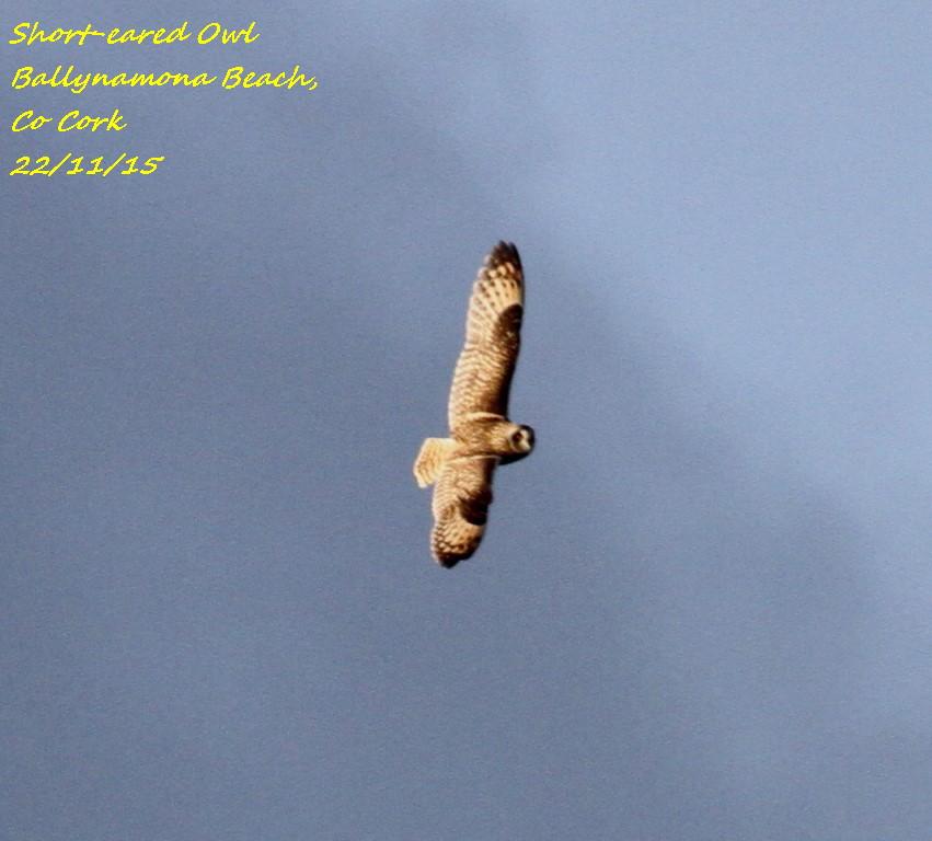 Short-eared Owl 2