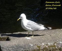 Common Gull 1