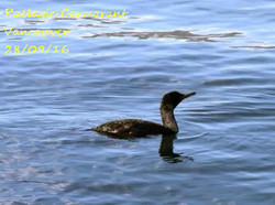 Paelagic Cormorant 1