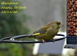Greenfinch 6