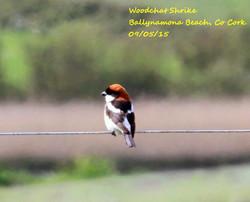 Woodchat Shrike 1