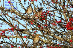 Redwing Fieldfare Song Thrush Aherla 261116