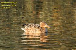 Shoveler Duck 4