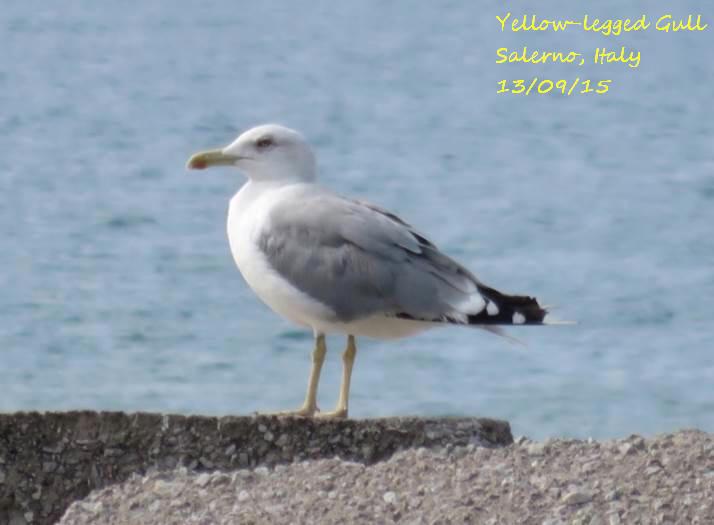 Yellow-legged Gull 3