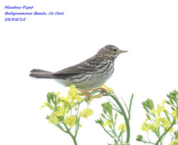 Meadow Pipit 3
