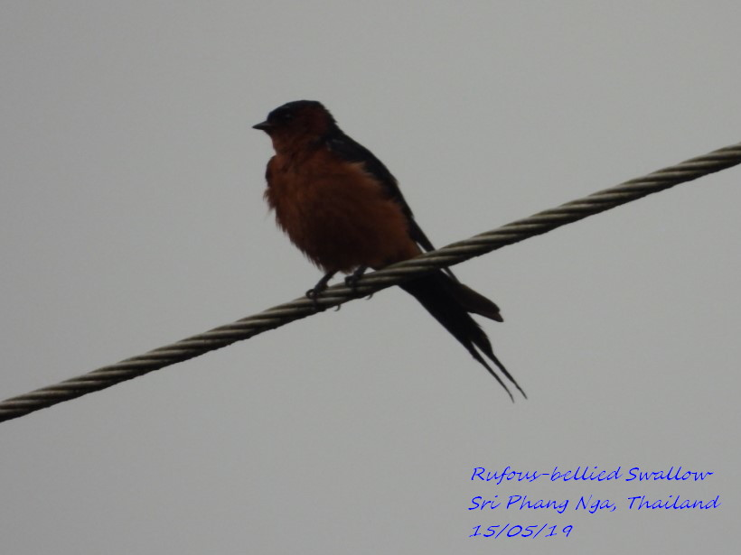 Rufous-bellied Swallow 1