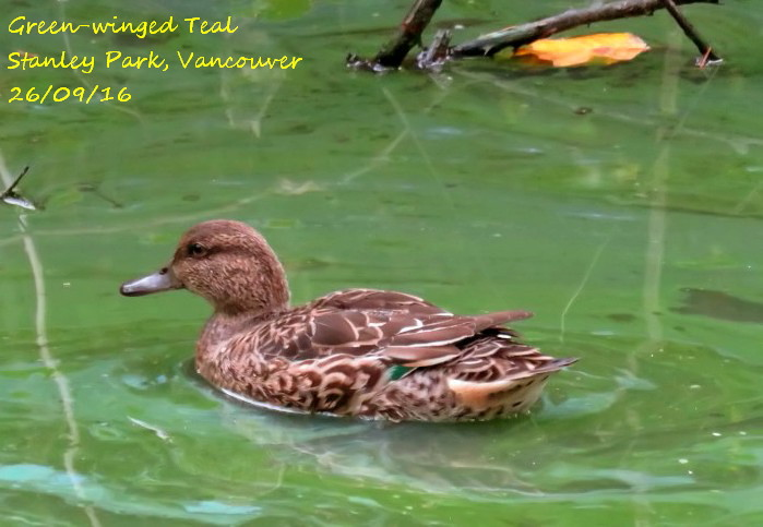 Green-winged Teal 3