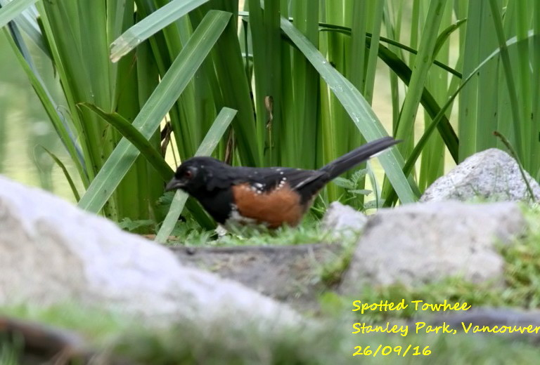Spotted Towhee 4