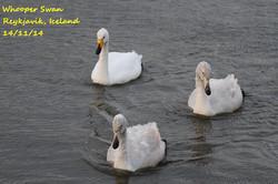 Whooper Swan 5