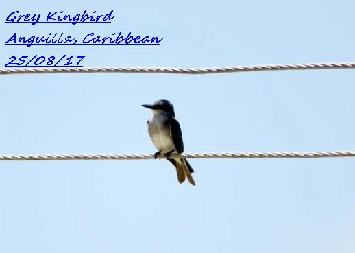 Grey Kingbird 1