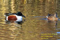 Shoveler Duck 2