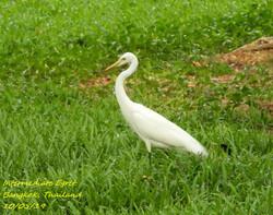 Intermediate Egret 3