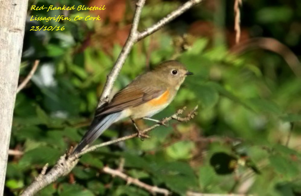 Red-flanked Bluetail 2