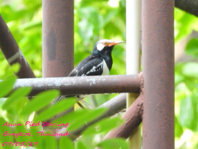 Asian Pied Starling 3