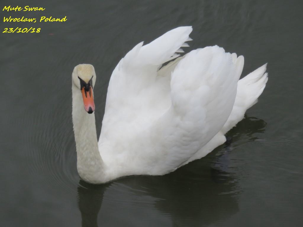 Mute Swan 9