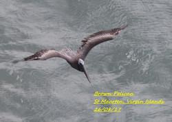 Brown Pelican 1