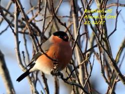 Bullfinch 4