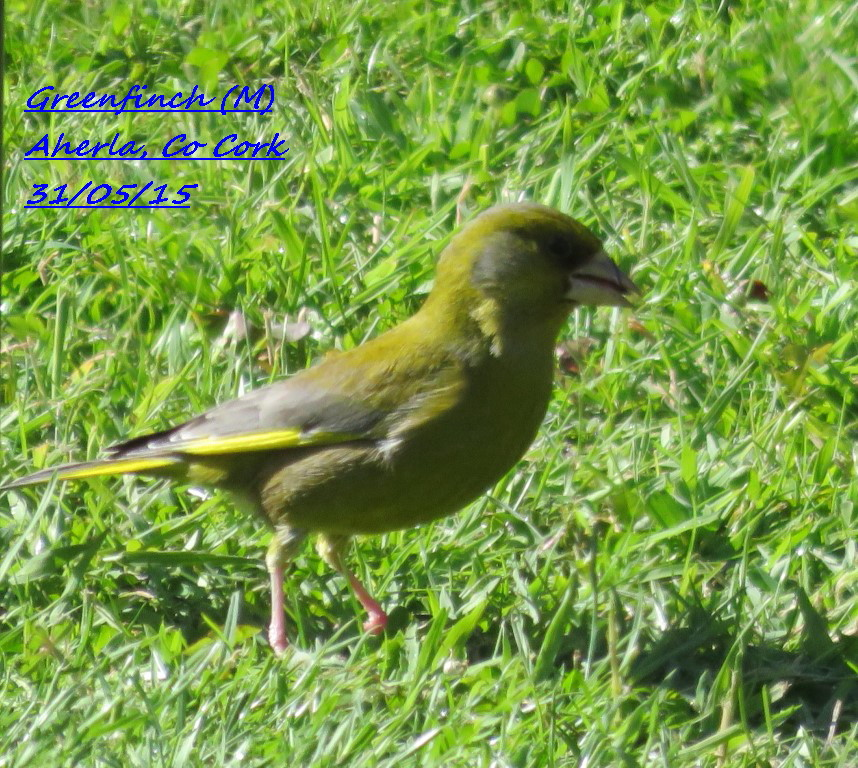 Greenfinch 3