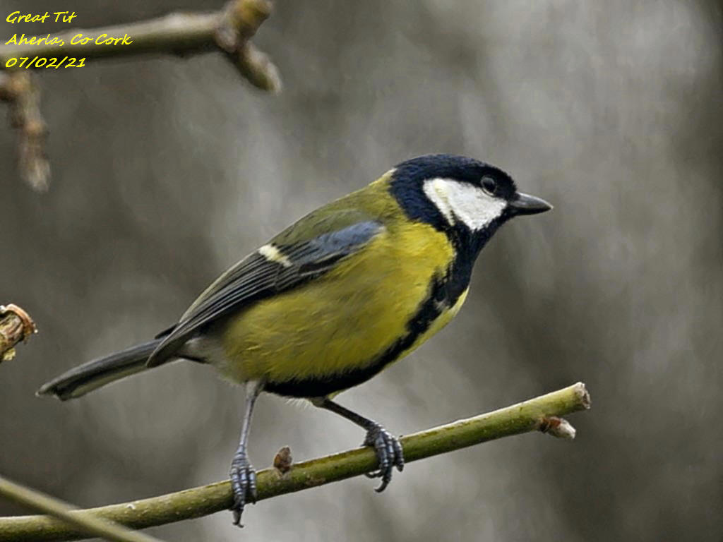 Great Tit 5