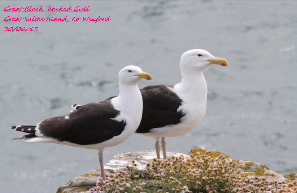 Great Black-backed Gull 2