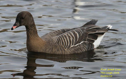 Pink-footed Goose 1