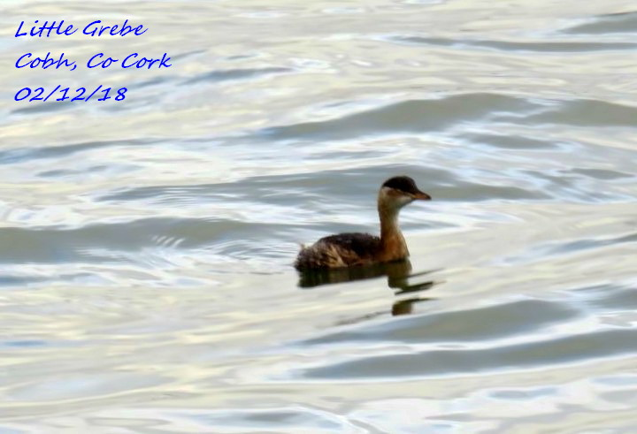 Little Grebe 9
