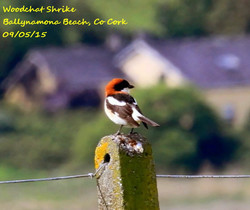 Woodchat Shrike 5