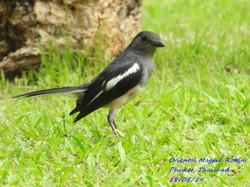Oriental Magpie Robin 2