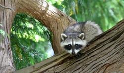 Raccoon (1)